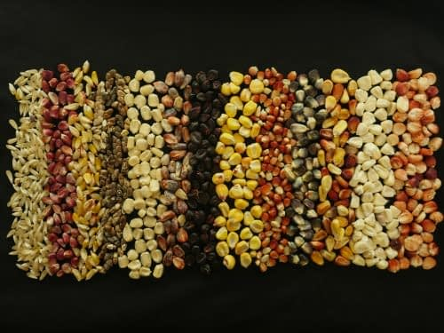 CIMMYT's Maize Germplasm Bank has its entire collection backed up in the Svalbard Global Seed Vault. Photo: CIMMYT archives