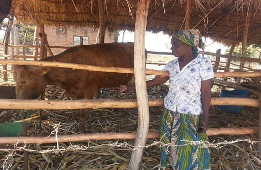 Theresa Gandazha is a smallholder dairy farmer whose first cow produced about 12 liters of milk per dayThe high cost of feed resulted in her barely breaking even when she sold the milk she produced. However, after adopting a legume-based diet for her cow, she has witnessed a dramatic increase in her income due to significantly reduced feed costs. The cow's milk has increased its yield to 16 liters per day, earning Gandazha nearly USD 130 per month. Photo: Lovemore Gwiriri/ILRI