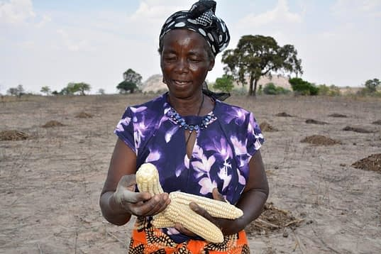 Appollonia Marutsvaka shows off her drought- and heat-tolerant maize cobs harvested through a CIMMYT project. Photo: J. Siamachira/CIMMYT