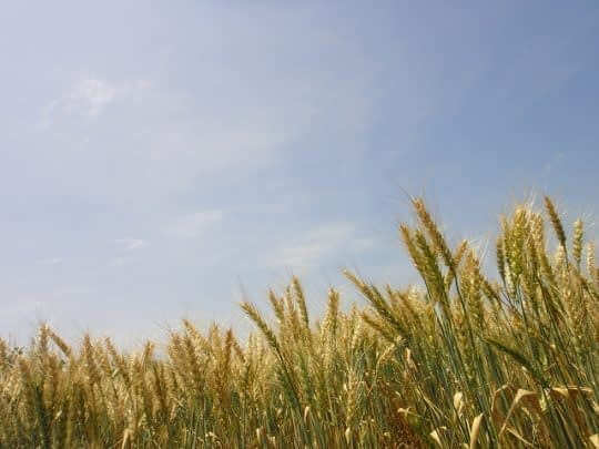 We must improve the productivity of our key crops if we are to feed the world's growing population, say scientists.