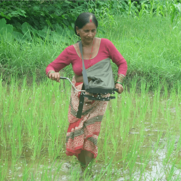 A woman operates a precision spreader during a demonstration for a farmer group in Guleriya MCP, Bardiya, in coordination with the Suahaara nutrition project. (Photo: Salin Acharya/CIMMYT)