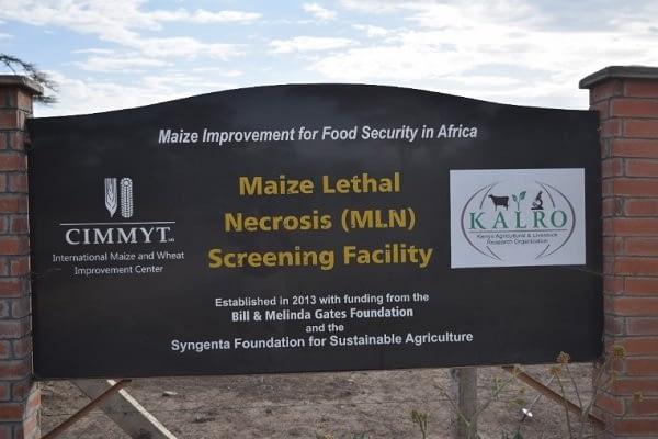 MLN Screening Facility. Photo: CIMMYT.