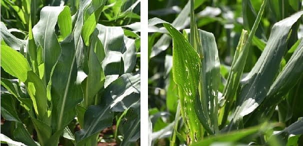 TELA maize (left) in Mgudlwa's farm showed good resistance to stem borer infestation, whereas plants in the refuge plot of non-TELA maize on the same farm show the shot holes typical of stem borer feeding. Photo: B.Wawa/CIMMYT