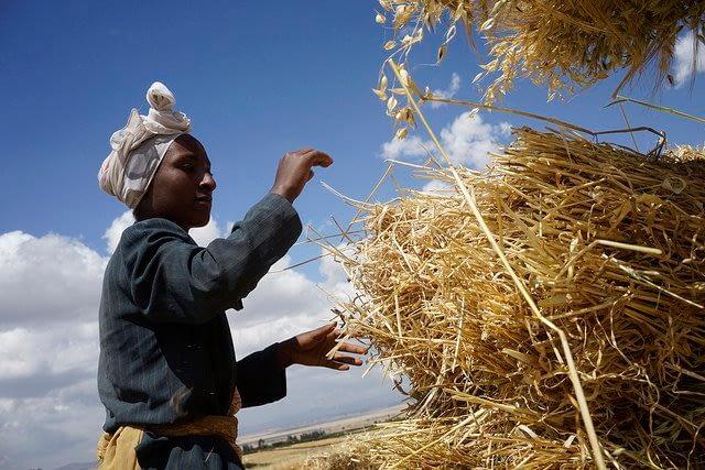 Kemeriya Mohamed stacking harvested wheat, Kechema village, Dodola district,west Arsi zone Ethiopia. Photo: CIMMYT/P. Lowe