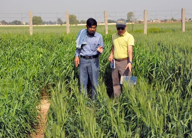 Wheat breeder and WRI director Javed Ahmad (left) discusses performance of the new varieties with a colleague. (Photo: Muhammad Shahbaz Rafiq)