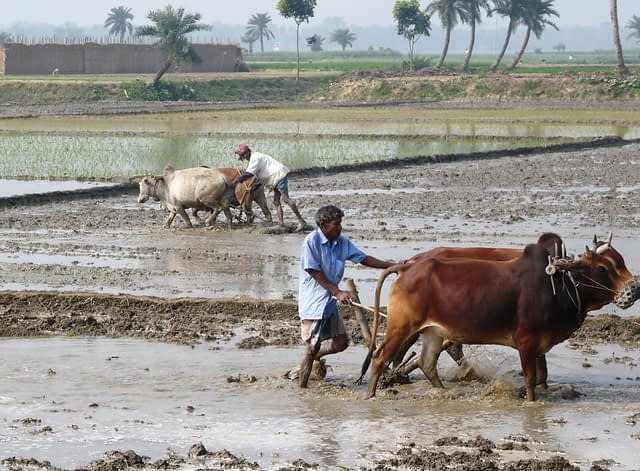 Farmers in Bangladesh practice traditional puddling of the soil before transplanting rice. (Photo: P. Wall/CIMMYT)