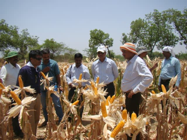 Agriculture officers and scientists from the University of Agricultural Sciences observe the performance of MHM4070 in drought-stressed field in Gadag district of Karnataka, India. (Photo: UAS-R)