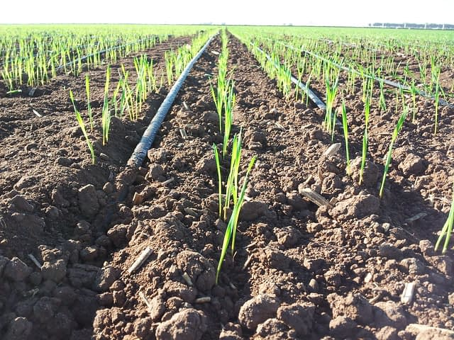 A wheat field is fed by drip irrigation in Obregon, Mexico. (Photo: H. Gomez/CIMMYT)