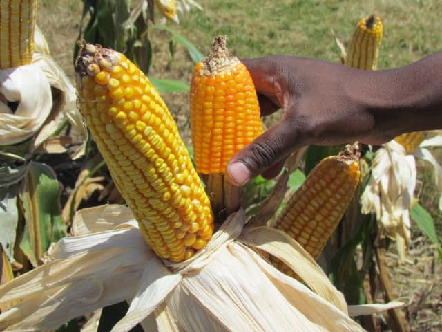 A farmer compares yellow and orange maize in Kwanza Sul, Angola. (Photo: Florence Sipalla/CIMMYT)
