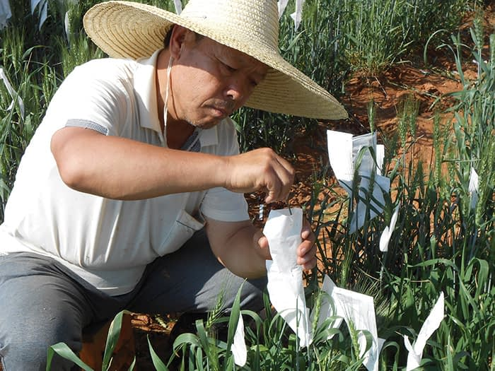 CIMMYT contributions are present in more than 26% of all major wheat varieties in China after 2000, according to a 2014 study by the Center for Chinese Agricultural Policy (CCAP) of the Chinese Academy of Science. (Photo: CIMMYT)