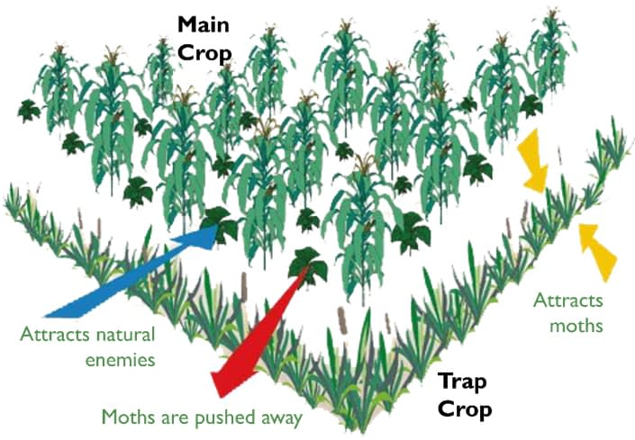 Push-pull cropping system in maize. (Figure: CIMMYT)