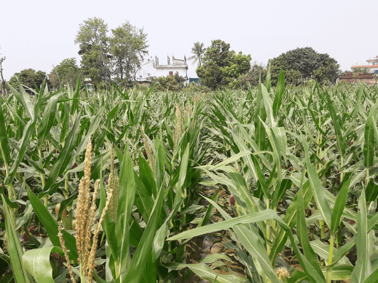 Early maturing maize variety at a seed production site. (Photo: AbduRahmann Beshir/CIMMYT)