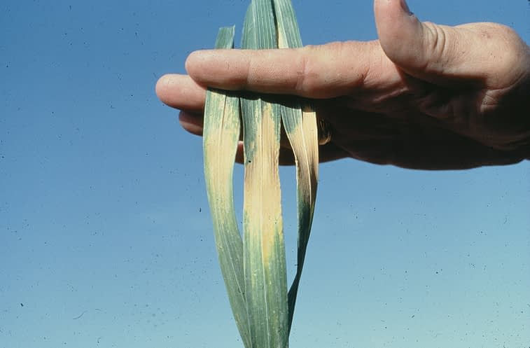 Wheat leaves showing symptoms of heat stress. (Photo: CIMMYT) For more information, see CIMMYT's Wheat Doctor: http://wheatdoctor.cimmyt.org/index.php?option=com_content&task=view&id=84&Itemid=43&lang=en. Photo credit: CIMMYT.