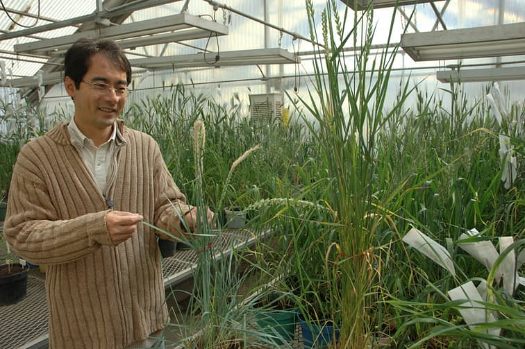 CIMMYT researcher Masahiro Kishii examines wheat plants in a greenhouse. (Photo: CIMMYT)