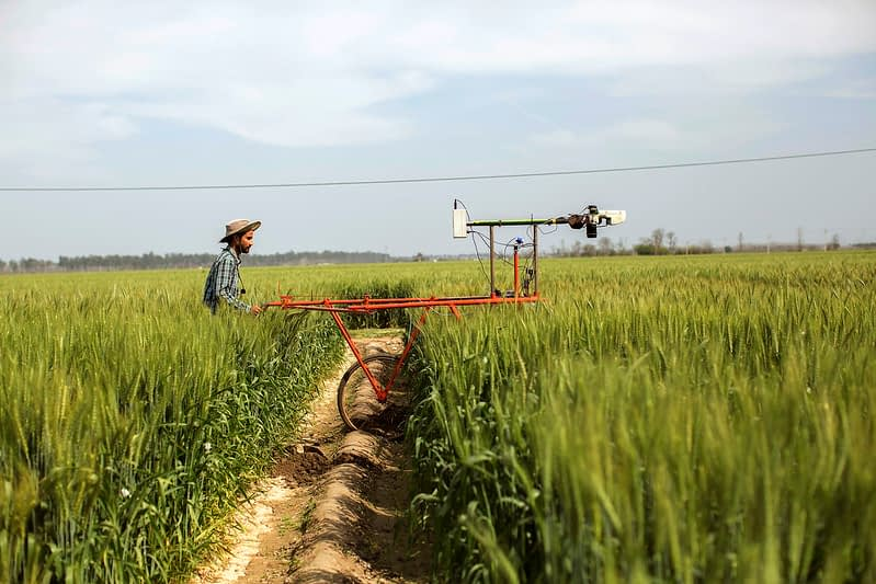 A researcher from the Borlaug Institute for South Asia (BISA) walks through a wheat field in India. (Photo: BISA)