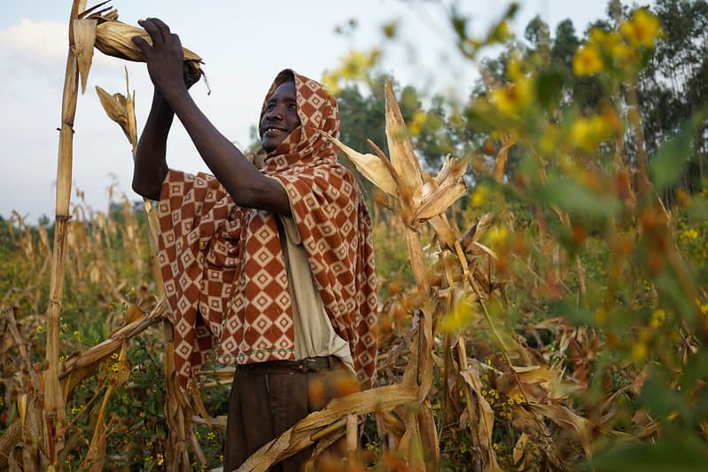 Farmer Roba Shubisha harvests an improved maize variety in Yubo village, Wondo Genet, Ethiopia. (Photo: Peter Lowe/CIMMYT)