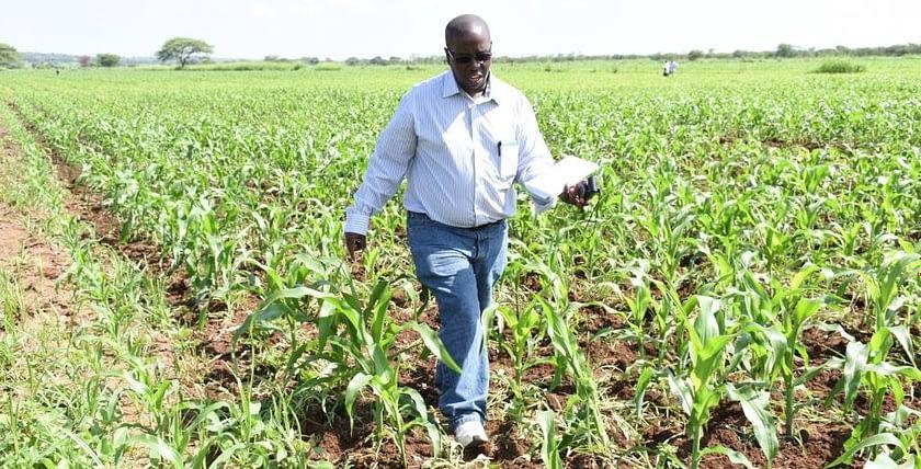 CIMMYT maize seed system specialist James Gethi inspects a maize field in Nzega, Tanzania. Photo: Kelah Kaimenyi/CIMMYT.