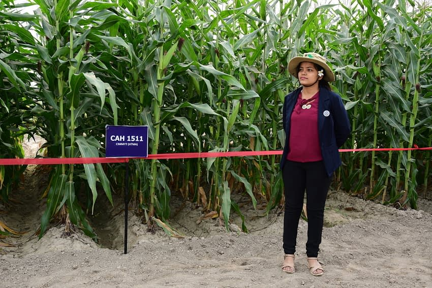 Samjhana Khanal surveys heat-tolerant maize varieties in Ludhiana, India, during a field day at the 13th Asian Maize Conference. (Photo: Manjit Singh/Punjab Agricultural University)