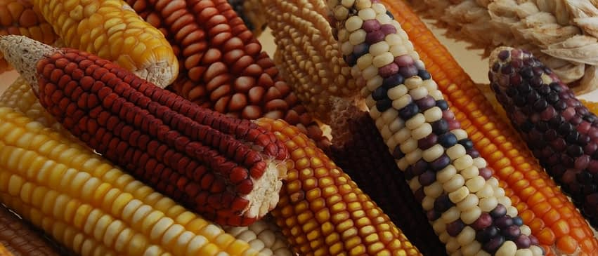 Maize ears from CIMMYT's collection, showing a wide variety of colors and shapes. CIMMYT's germplasm bank contains about 28,000 unique samples of cultivated maize and its wild relatives, teosinte and Tripsacum. These include about 26,000 samples of farmer landraces — traditional, locally-adapted varieties that are rich in diversity. The bank both conserves this diversity and makes it available as a resource for breeding. (Photo: Xochiquetzal Fonseca/CIMMYT)
