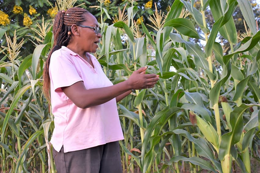Doris Muia shows how well SAWA maize is doing at her farm, despite limited rainfall. (Photo: Joshua Masinde/CIMMYT)