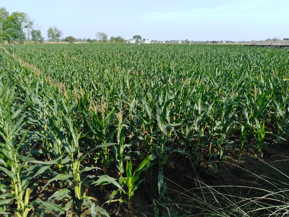 General view of a hybrid maize field from Lumbini Seed Company, a NSAF project partner, in Nepal's Bhairahawa district. (Photo: Subhas Sapkota)